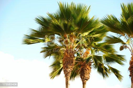 Tropical Plam Trees