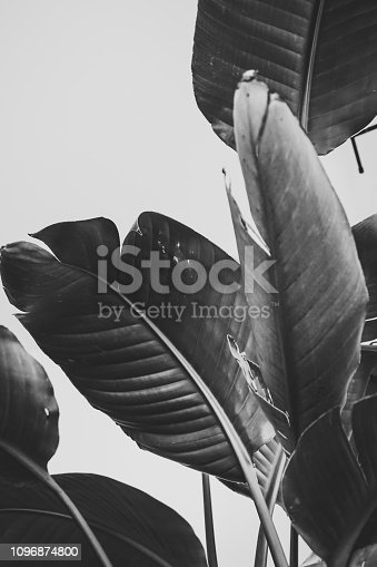 tropical plant black and white