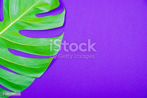 istock Tropical plant green monstera leaf on violet (purple) color background. 1153286523