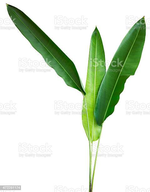 Tropical plant isolated on white with clipping path picture id472251174?b=1&k=6&m=472251174&s=612x612&h=buwykegy ozofbv  5nw1qqpwebahvi1aa uwjfbeug=