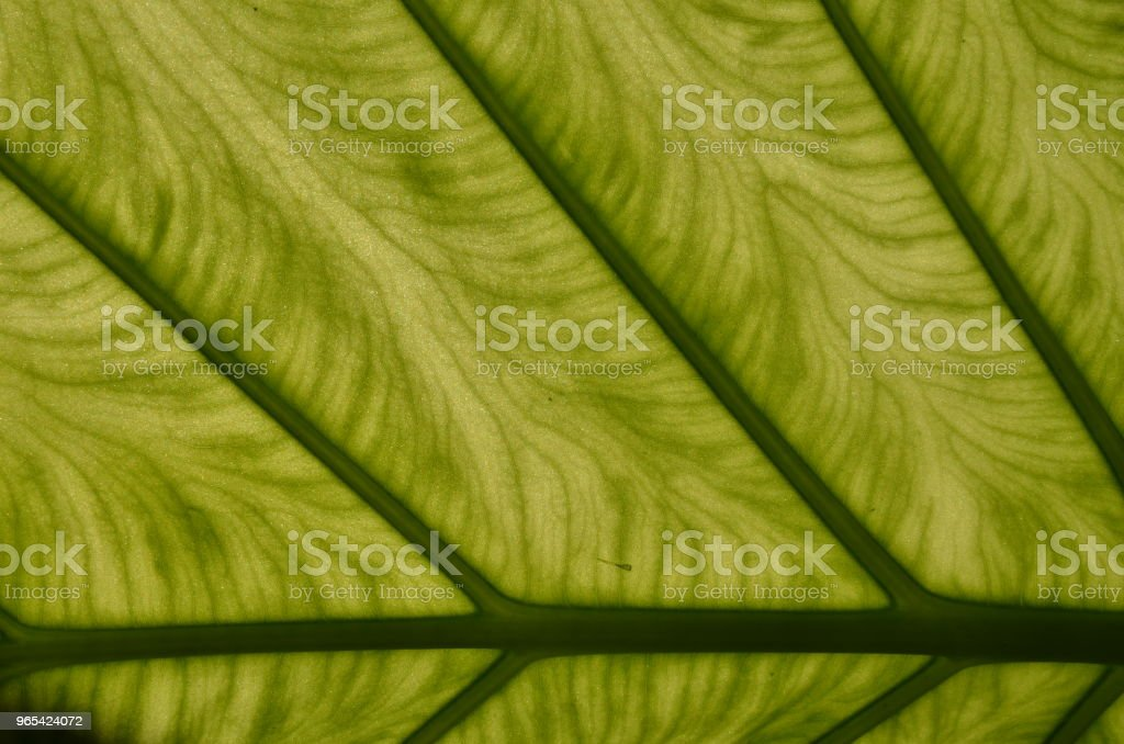 Tropical plant leaf close-up royalty-free stock photo