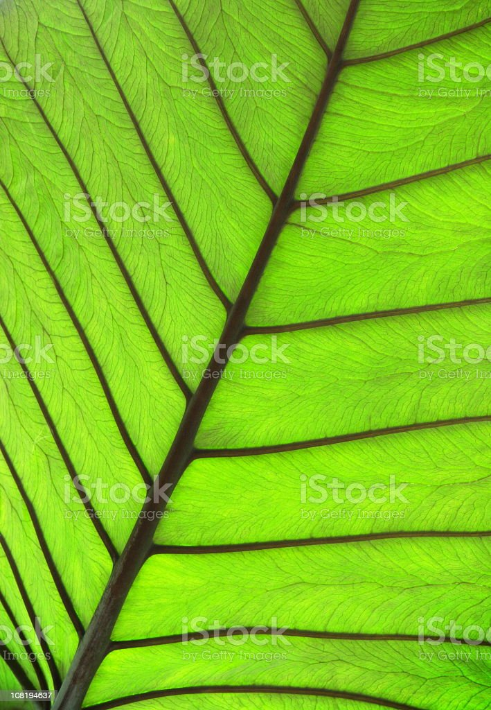 Tropical Plant Leaf Vein Silhouette stock photo