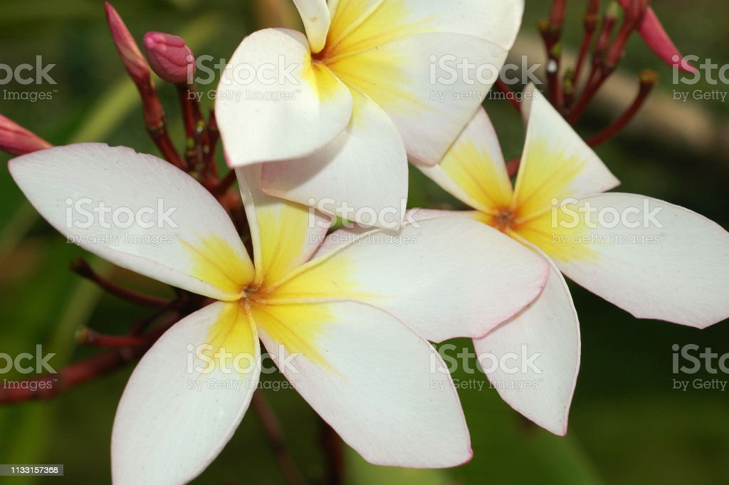 Tropical Plant Plumeria With A White Flower India Tamil Nadu Stock Photo Download Image Now Istock