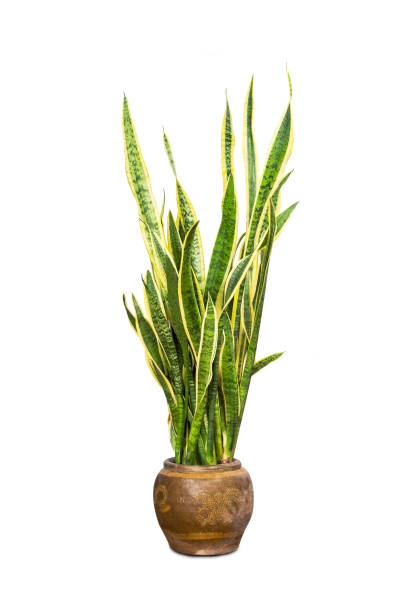 """Tropical plant sansevieria trifasciata, also known as """"Mother-in-law's tongue"""" or the snake plant, stock photo"""