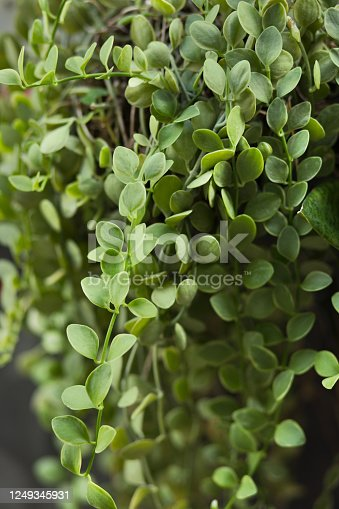 Tropical plant with small leafs