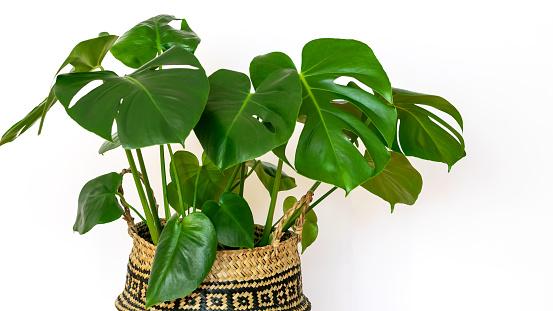 Tropical planta Monstera deliciosa on the white wall background. Monstera deliciosa closeup as plant interior. Care of house plants.
