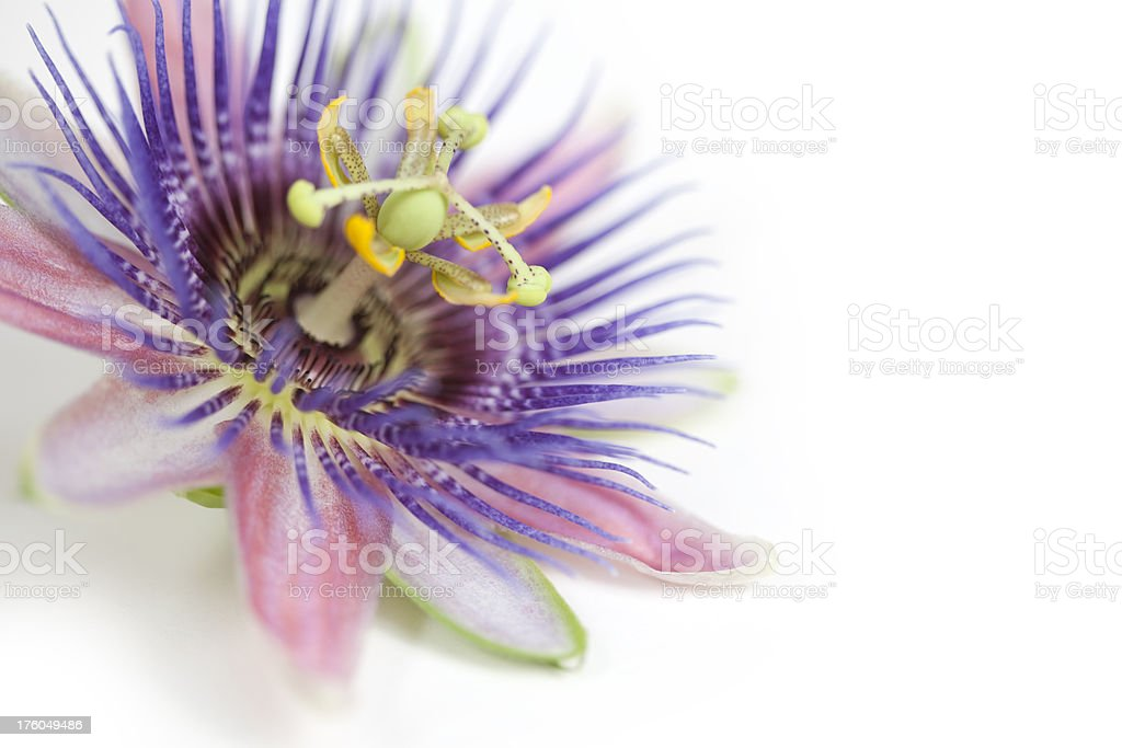 Tropical Purple and Blue Passion Flower on White stock photo
