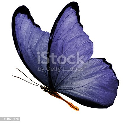 999676880 istock photo tropical purple flying butterfly isolated on white background 964579476