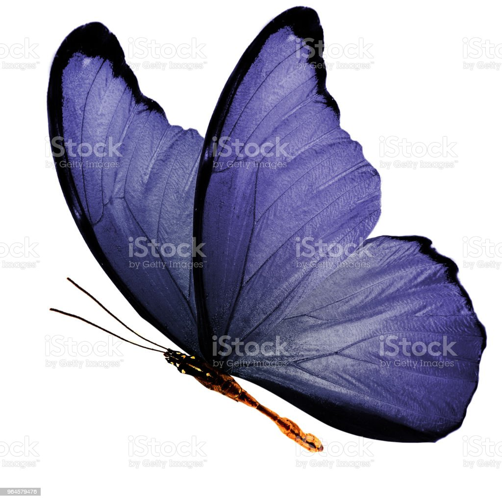 tropical purple flying butterfly isolated on white background - fotografia de stock