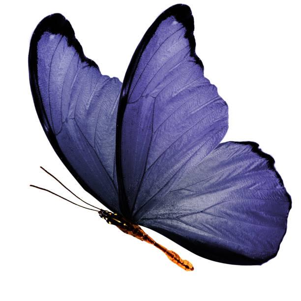 tropischen lila fliegenden schmetterling isoliert auf weißem hintergrund - schmetterling stock-fotos und bilder