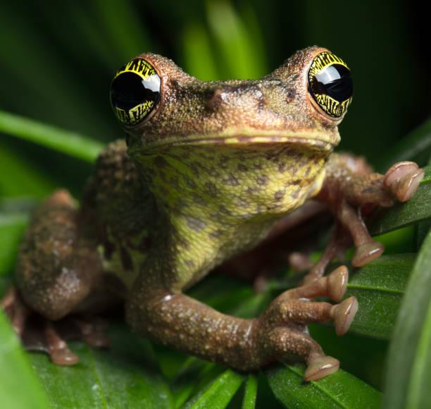 tropisk regnskog groda, osteocephalus taurinus - djuröga bildbanksfoton och bilder