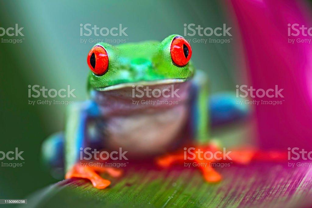 Tropical red eyed tree frog, Agalychnis callidrias