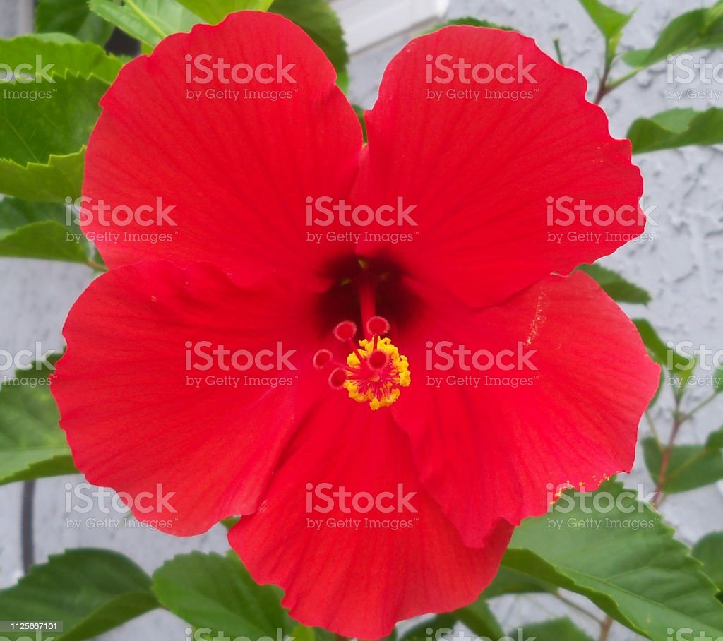 Tropical Red Hibiscus stock photo