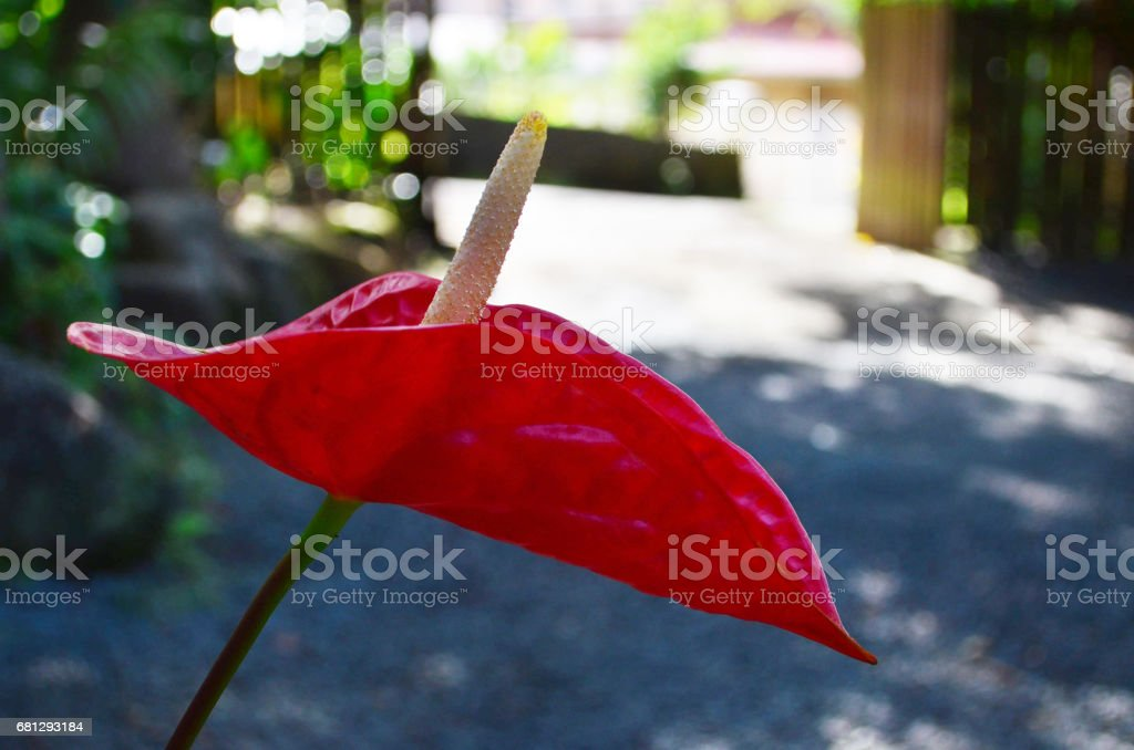tropical red lily royalty-free stock photo