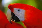 Close-up of a colorful parrot in the jungle.Guayaquil, Ecuador
