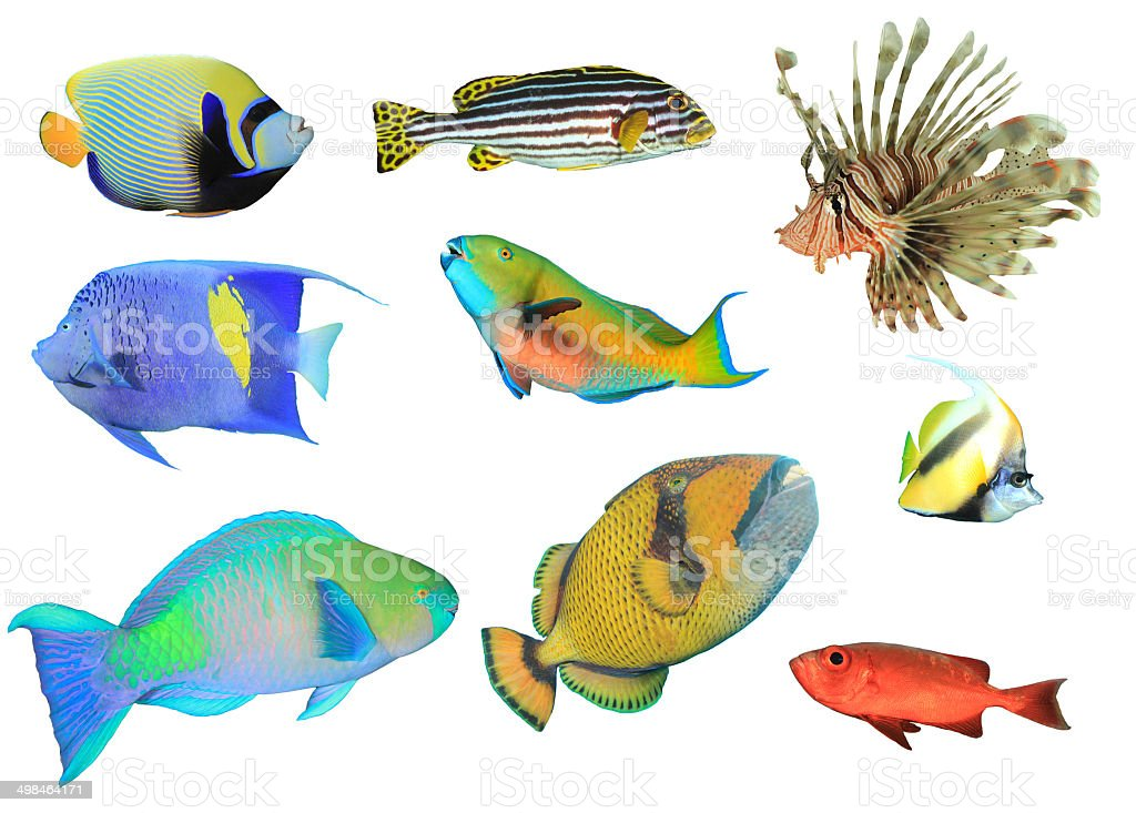 Tropical reef fish isolated stock photo more pictures of for Reef tropical fish