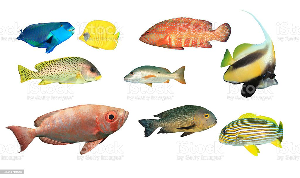 Tropical Reef Fish isolated stock photo