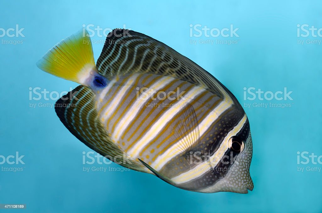 Tropical Saltwater Fish royalty-free stock photo