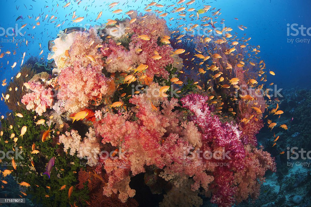 Tropical soft coral reef stock photo