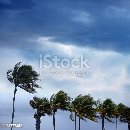 Group of waving palm trees in windy tropical storm over sunset sky in Florida
