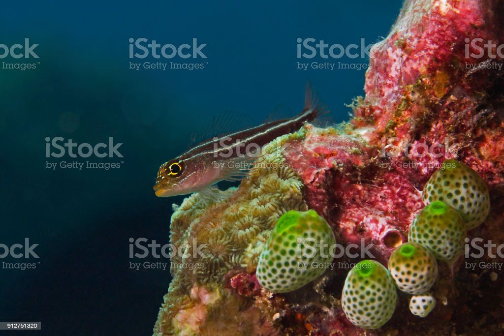 Tropical Striped Triplefin on the top of coral (Helcogramma striatum) stock photo