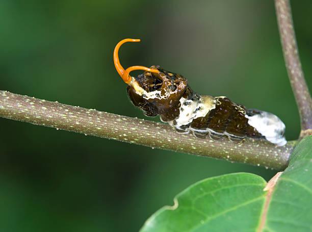 Tropische Schwalbenschwanz caterpilla – Foto