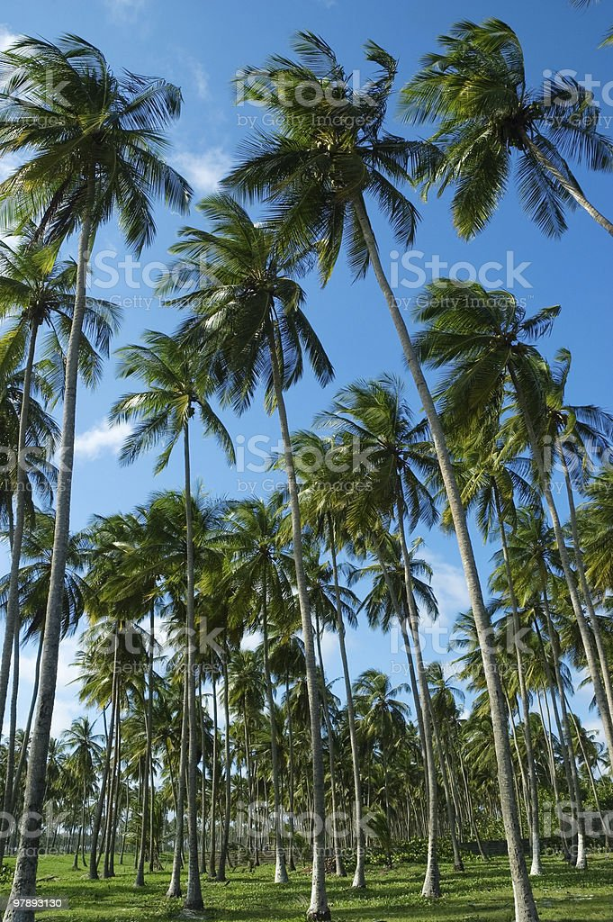 Tropical tall coconutn trees royalty-free stock photo