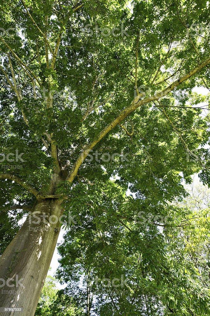 Tropical Tall Tree royalty-free stock photo