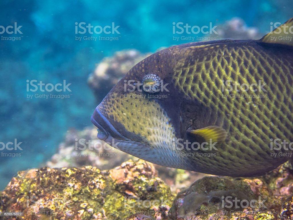 Tropical Titan Triggerfish (Balistoides viridescens) Territorial Reef Fish foto de stock royalty-free