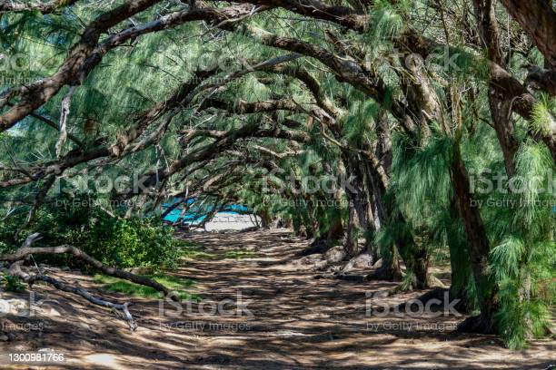 Photo of Tropical tree branches stretching over a trail create a grand entrance to beach