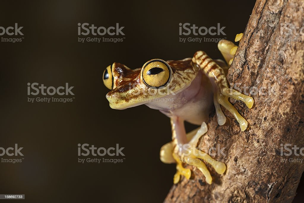 tropical tree frog stock photo
