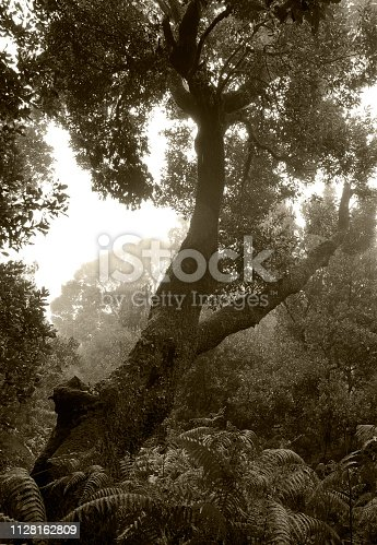 Tropical trees in the sunlight - Background - Jungle - Rainforest - Canary Island - Spain - El Hierro