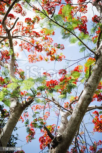 Bahamas, tree, flower, leaf,