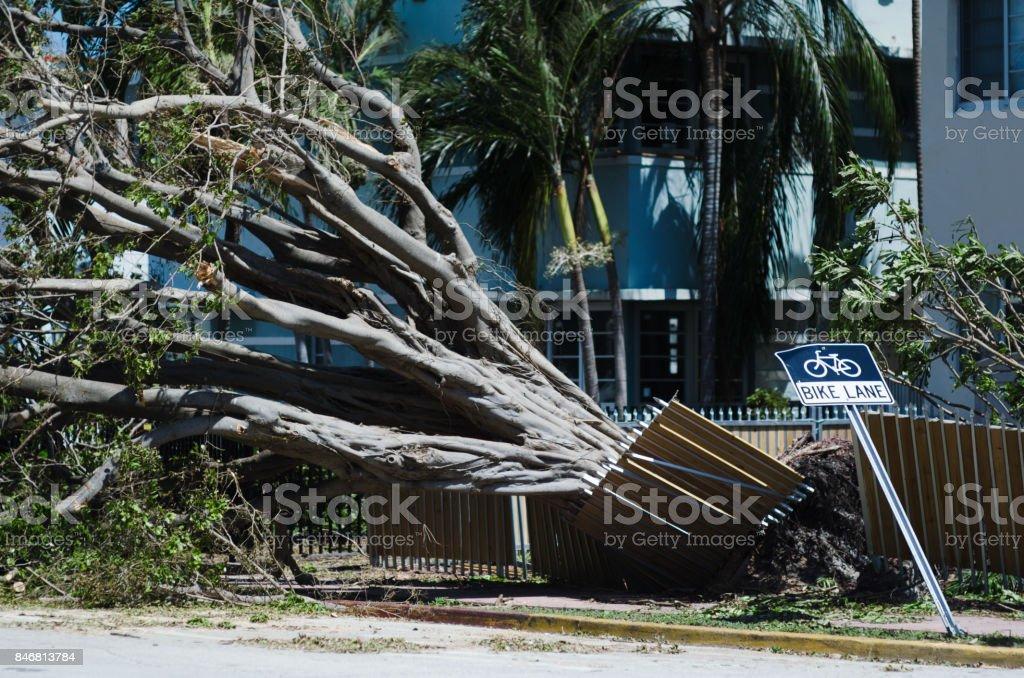 Tropical Tree Toppled in Hurricane Irma Miami stock photo