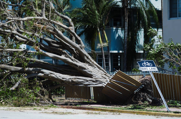 Tropical Tree Toppled in Hurricane Irma Miami A tropical tree fallen sideways onto a fence and across a bike lane after Hurricane Irma blew through the neighborhood of South Beach in Miami, Florida fallen tree stock pictures, royalty-free photos & images