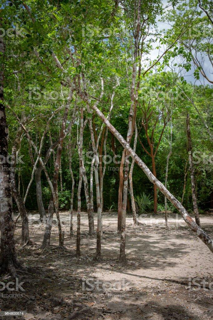 Tropical trees in jungle, Yucatan Mexico royalty-free stock photo
