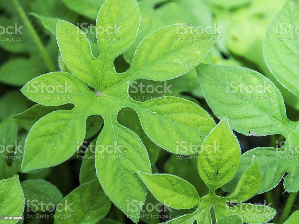Tropical Unique Green Leaves Stock Photo Download Image Now Istock