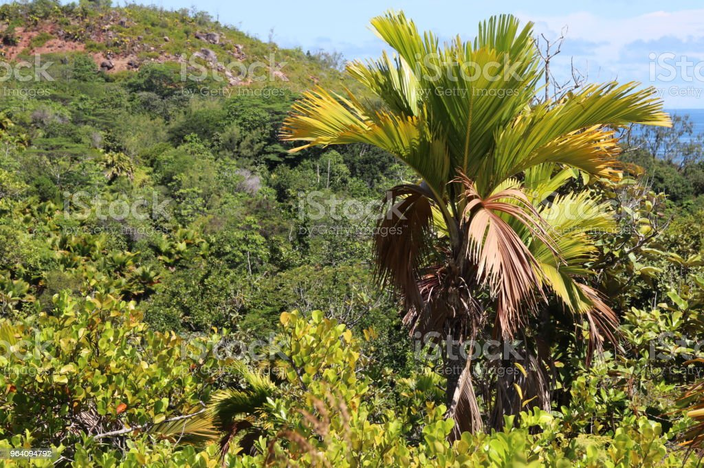 熱帯植物、自然歩道山プレジール、プララン島、セーシェル、インド洋、アフリカ - やしの葉のロイヤリティフリーストックフォト