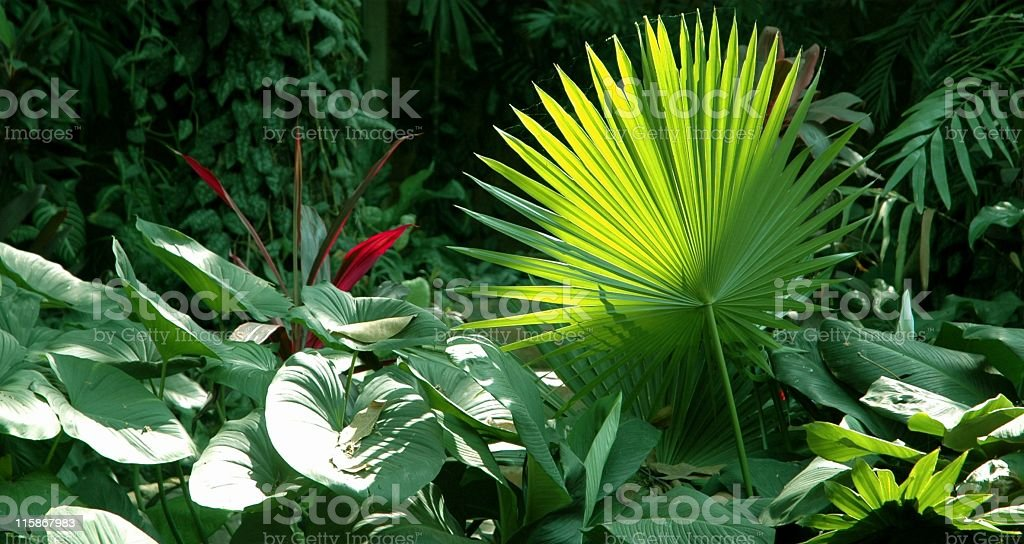Tropical vegetation  with palm leaves and elephant ear leaves. stock photo