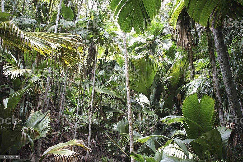 Tropical Virgin Forest, Vallée de Mai, Praslin Island, Seychelles royalty-free stock photo