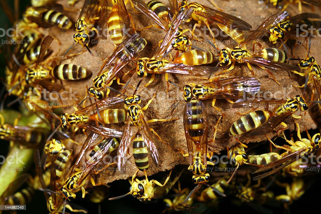 Tropical wasp nest royalty-free stock photo