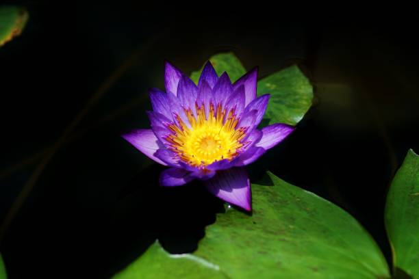 Tropical water lily blue stock photo