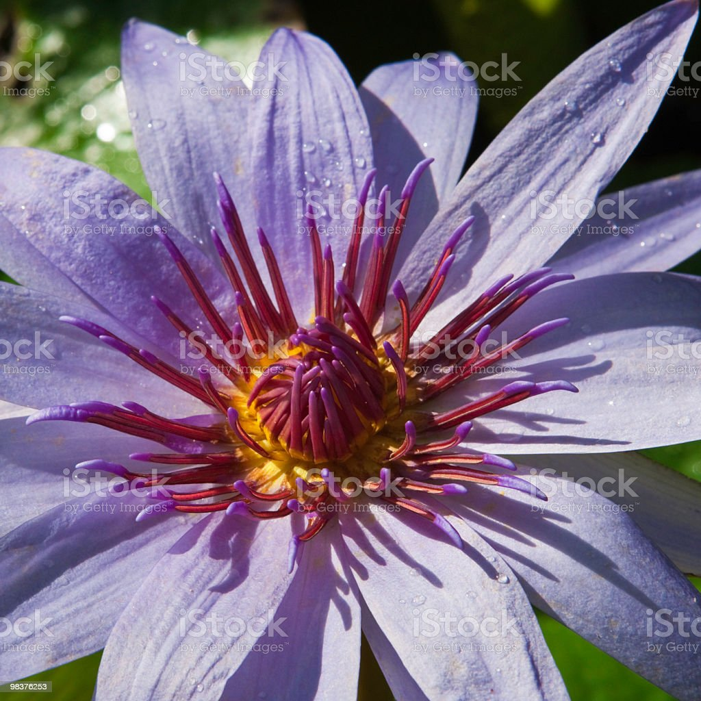 Tropical Water Lily, Grand Cayman royalty-free stock photo