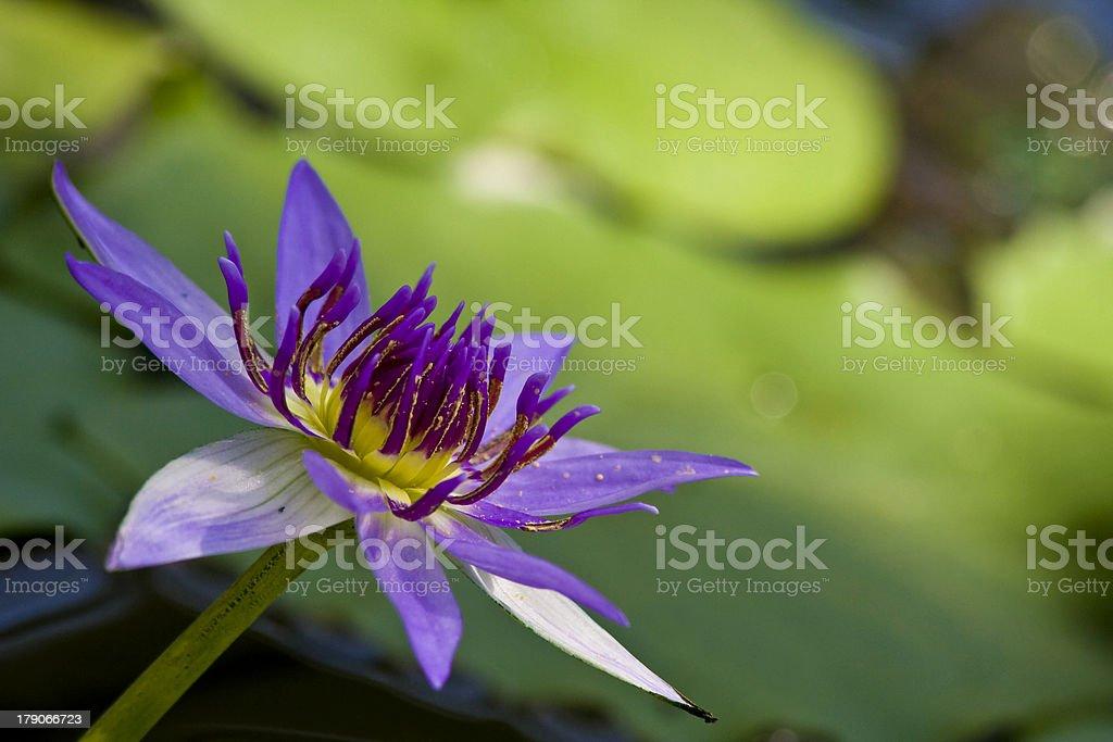 Tropische water lily – Foto