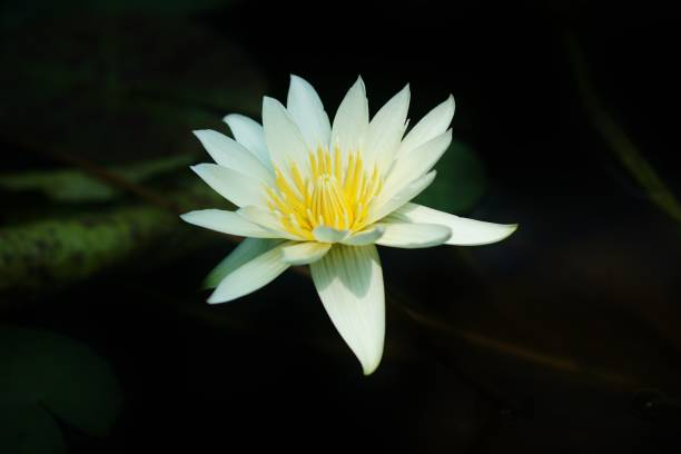 Tropical water lily white stock photo