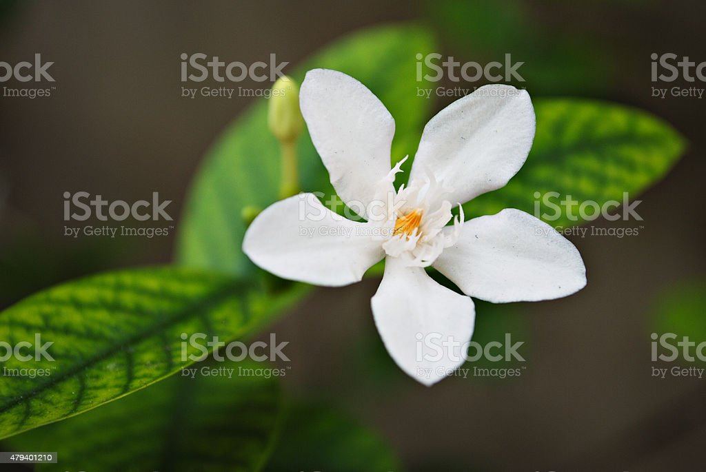 Tropical white flower with yellow center stock photo more pictures tropical white flower with yellow center royalty free stock photo mightylinksfo