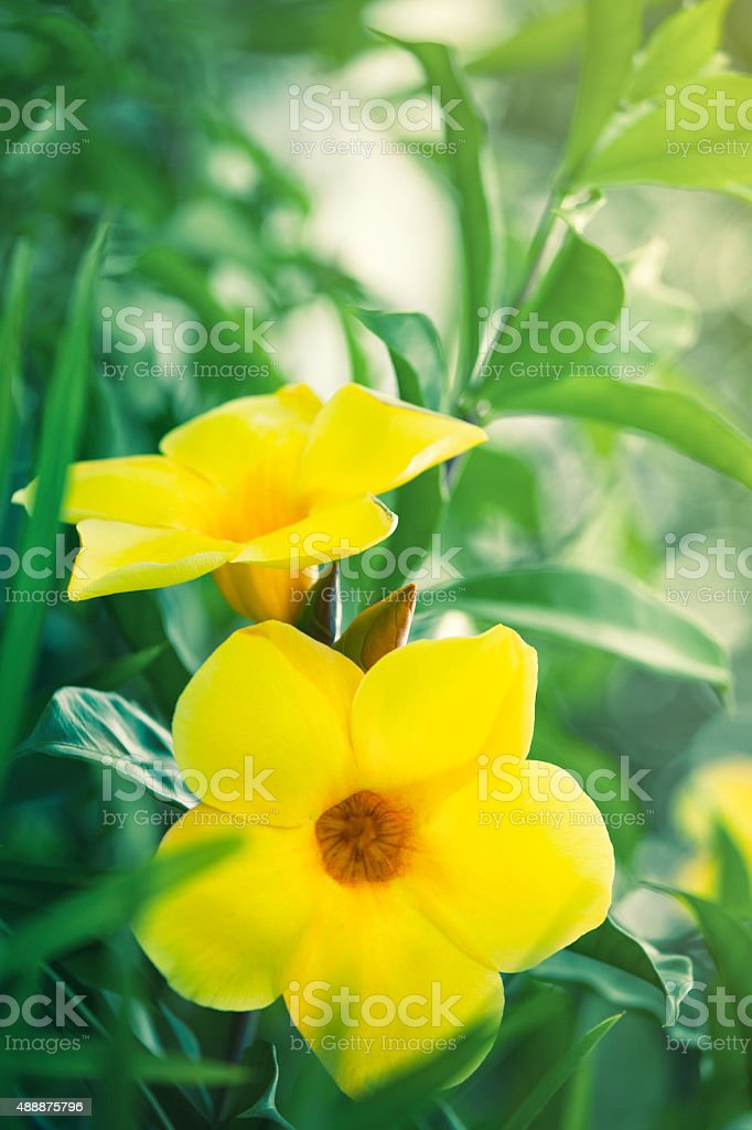 Tropical yellow bell flowers in bloom stock photo more pictures of tropical yellow bell flowers in bloom royalty free stock photo mightylinksfo