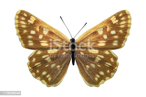 yellow butterfly Hesperiidae. isolated on white background