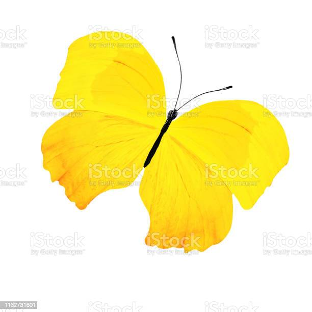 Tropical yellow butterfly isolated on white background picture id1132731601?b=1&k=6&m=1132731601&s=612x612&h=4syhabrnw7tvgxdt6nbb i5reaj0ghwhl8vjn1i4gzg=