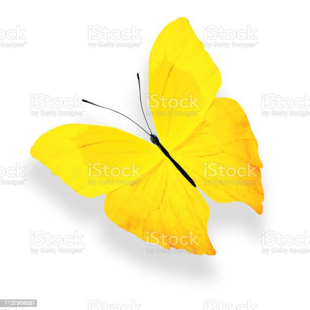 Tropical yellow butterfly isolated on white background picture id1132956581?b=1&k=6&m=1132956581&s=612x612&h=g3k35vjkt8rtvzi9ml0ewl6 4mwfatrkiqy7dqmyjxi=